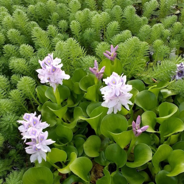 Water Hyacinth blooming in our koi pond