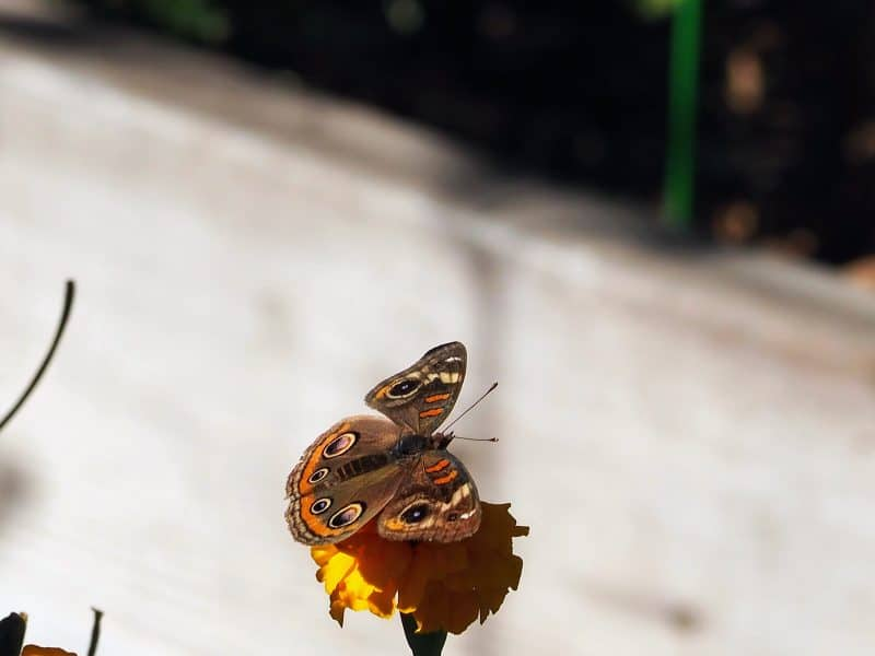 Common buckeye butterfly - love the colors!
